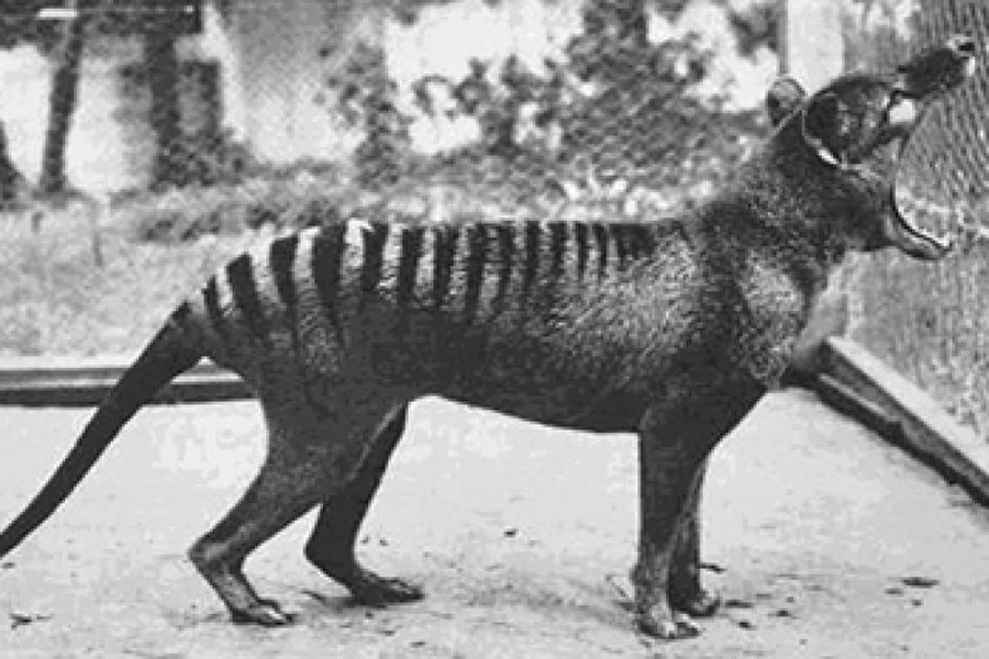 Dingo, dog, Tasmanian tiger, Thylecine, Marsupial, Australia, Melbourne