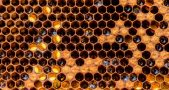 Honeybee hives endanger wild bee species, Honeybee conservation, Small green bees