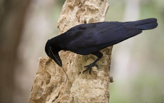 New Caledonian crows hooked tools, New Caledonian crows use of tools, Crows food retrieving skills