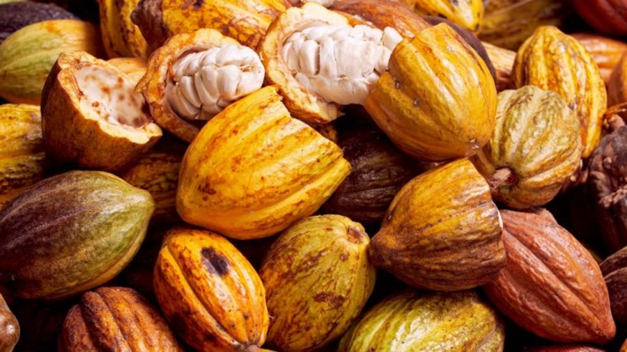 Sustainability in a Generation, Chocolate extinction, Chocolate CRISPR, Mars Company, Innovative Genomics Institute UC Berkeley, Chocolate, Cacao, Cacao extinction