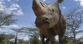 Northern white rhinoceros, Sudan, White rhinoceros, Rhinoceros