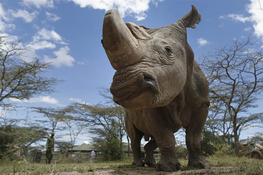 The Last Male Northern White Rhino in The World Just Died