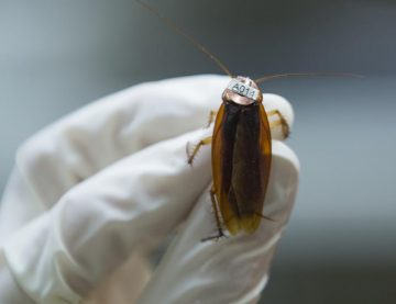 Cockroaches, American cockroach, DNA, Pests